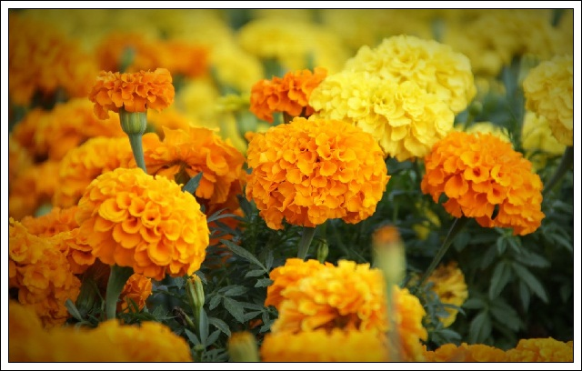thumb-marigold-flowers-images-and-wallpapers-8
